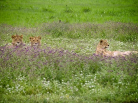 Lions and Lioness Relaxing in Wildflowers - Ngorongoro Crater - Tanzania - by Anika Mikkelson - Miss Maps - www.MissMaps.com