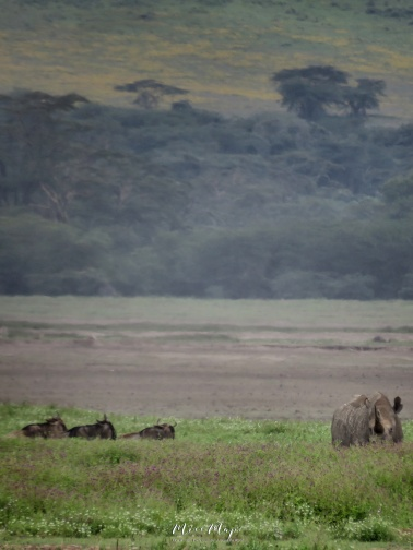 Black Rhino and Wildebeest - Ngorongoro Crater - Tanzania - by Anika Mikkelson - Miss Maps - www.MissMaps.com
