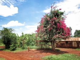 Flowering Tree - Jinja Uganda - by Anika Mikkelson - Miss Maps - www.MissMaps.com