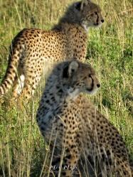 Cheetah Babies - Serengeti National Park - Tanzania - by Anika Mikkelson - Miss Maps - www.MissMaps.com