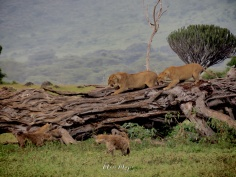 Lionesses Growling at Hyenas - Ngorongoro Crater - Tanzania - by Anika Mikkelson - Miss Maps - www.MissMaps.com