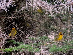 Yellow Birds in Acacia Tree - Ngorongoro Crater - Tanzania - by Anika Mikkelson - Miss Maps - www.MissMaps.com