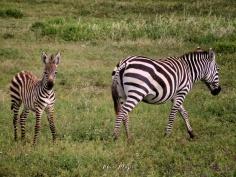 Zebra Baby and Mom - Ngorongoro Crater - Tanzania - by Anika Mikkelson - Miss Maps - www.MissMaps.com