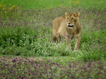 Young Lion Walking through Wildflowers - Ngorongoro Crater - Tanzania - by Anika Mikkelson - Miss Maps - www.MissMaps.com