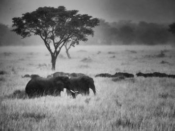 Elephants of Queen Elizabeth in Black and White - Uganda - by Anika Mikkelson - Miss Maps - www.MissMaps.com