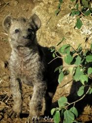 Baby Hyena - Serengeti National Park - Tanzania - by Anika Mikkelson - Miss Maps - www.MissMaps.com