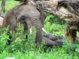 Elephant Eating in the Forest - Ngorongoro Crater - Tanzania - by Anika Mikkelson - Miss Maps - www.MissMaps.com