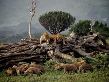 Lionesses Scaring Hyenas - Ngorongoro Crater - Tanzania - by Anika Mikkelson - Miss Maps - www.MissMaps.com